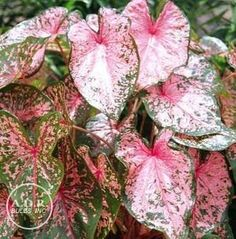 Caladium seguinum $15 christmas gift ideas