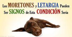 Si las plaquetas de sangre están siendo destruidas por el Sistema inmunológico del cuerpo significa que su mascota tiene Trombocitopenia Inmune Mediada o IMT. http://mascotas.mercola.com/sitios/mascotas/archivo/2015/04/26/imt-en-los-perros.aspx