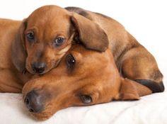 Dachshund mãe e seu filhote de cachorro em fundogpics.com