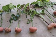 Cuttings of roses in potatoes. part Rose Cuttings in potatoes. Part 1 Cuttings of rose Growing Roses, Planting Roses, Plants, Edible Flowers, Tomato Seedlings, Roses In Potatoes, Gardening Blog, Growing Vegetables, Garden Plants