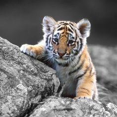 Aww what an adorable Tiger Cub, So Cute✨