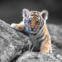Aww what an adorable Tiger Cub, So Cute✨