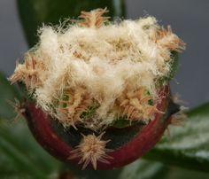 Ariocarpus - retusus Ariocarpus Var pectinatus.