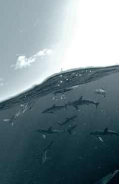 Sharks in the Gulf of Mexico  photo by Andrew Shpatak #animal #sharks #gulf #mexico #photo #andrew #shpatak #photography