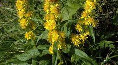 """Už dávnym alchymistom udrel tvar Zlatobyle obyčajnej (Solidago virgaurea) do očí, nápadne totižto pripomína prúd moču. Táto """"signatúra"""" je ešte zjavnejšia pri jej príbuznej zlatobyli kanadskej, ktorá je u nás zavlečená ako invazívna plodina asúspechom vytláča mnohé pôvodné rastliny."""