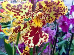 Orchidea Botanica