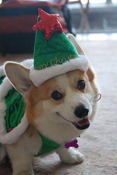 O Christmas tree, o Christmas tree, how lovely are your EARS-ES! Murray makes this outfit look goooooood. #corgi