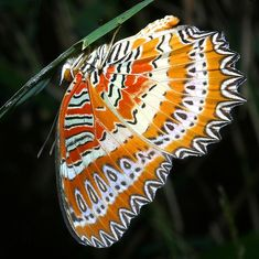 red lacewing (Vietnam)