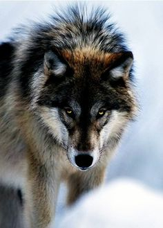 Le Loup,Un Animal fascinant ღღღ added a new photo. - Le Loup,Un Animal fascinant ღღღ | via Facebook on We Heart It