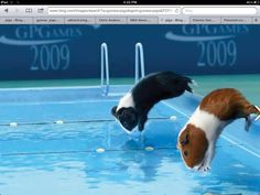 Can ginea pigs swim....? And no my first ginea pig died  be cos of water