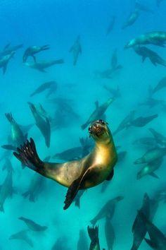 Sea lion salutation...beautiful! Photo: Joost van Uffelen