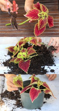 Detailed guide on how to grow healthy Coleus: sun, shade, water, and soil requirements, and how to propagate Coleus from cuttings easily in 2 ways! Plus beautiful Coleus varieties and inspirations on how to use them in a garden. - A Piece of Rainbow Container Flowers, Container Plants, Container Gardening, Succulent Containers, Lawn And Garden, Garden Pots, Garden Seat, Garden Benches, Beer Garden