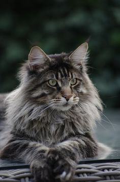 Maine Coon - This cat looks a lot like Gypsy but I think picture is a male. Gypsy lived a long time, she was a good mommy and grandmother.