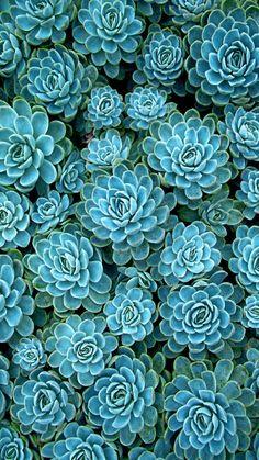 Wallpaper sperrbildschirm green new ideas Wallpaper Flower, Succulents Wallpaper, Blue Succulents, Plant Wallpaper, Planting Succulents, Wallpaper Backgrounds, Planting Flowers, Iphone Wallpaper, Indoor Succulents