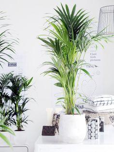 Kentia Palm - woonplant van de maand Januari 2014 verzorgingstips zie: www.marechal.be