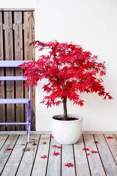 Japanese Maple Garden, Dwarf Japanese Maple, Japanese Garden Design, Japenese Maple, Japanese Maple Trees, Japanese Garden Plants, Japanese Gardens, Japanese Maple Varieties, Bloodgood Japanese Maple
