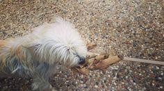 Bebe has found a leaf! Good job Bebe. Good job. #dog #dogs #dogsofinstagram #puppy #puppies #zymox #zymoxfamily #zymoxpets #pawsome #cute #cocopixie #paws #maltese #malchi #malteseofinstagram #chihuahua #chihuahuamix #chihuahualove #chihuahuas #chihuahuasofinstagram #texas #texaslife #austin #austintx #cutepuppies #lovedogs #lovepuppies by coco_pixie