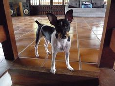 The Brazilian Terrier is a fairly rare breed and one of only two that were developed in Brazil.