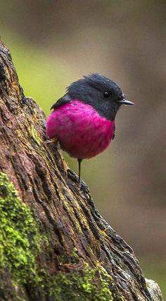 Pink Robin (Petroica rodinogaster) in Tasmania Cute Birds, Pretty Birds, Beautiful Birds, Animals Beautiful, Cute Animals, Eagle Animals, Exotic Birds, Colorful Birds, Bird Pictures