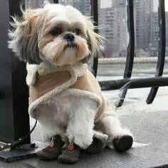 Looks just like my Libby - she even had a jacket just like this one. ==> visit http://www.amazingdogtales.com/gifts-for-shih-tzu-lovers/