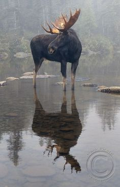 Moose in the morning mist. #animals