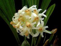 Xylobium variegatum - Flickr - Photo Sharing!