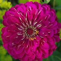 PURPLE PRINCE Zinnia Seeds Brilliant rosy purple, in. semi-double to fully double, dahlia-type flowers. They are superb for cutting. The easy to grow, mildew resistant plants grow ft. Flowers Name List, Flower Names, Bright Flowers, Tropical Flowers, Garden Seeds, Garden Plants, Flower Farm, Flower Pots, Chinese Flowers