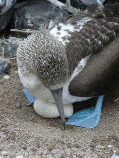 Galapagos, Ecuador Booby Bird, Blue Footed Booby, Ecuador, Wildlife, Inspire, Places, Pictures, Photos, Photo Illustration