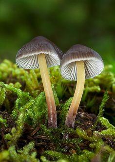 Nahuby.sk - Fotografia - prilbička slizká želatínová Mycena epipterygia var. viscosa (Secr. ex Maire) Ricken