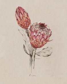 Protea illustration for NZ Home and Garden Magazine by Kelly Thompson .nz - Another! Flor Protea, Protea Art, Protea Flower, Art And Illustration, Motif Floral, Arte Floral, Botanical Flowers, Botanical Prints, Illustration Botanique