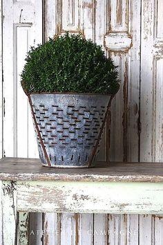 vintage olive bucket holding boxwood <3