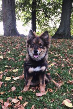 Finsk Lapphund Kahla , Hund Julie Laj   Pawshake
