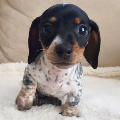 'Woof' - Adorable Little Reese the New Miniature Dachshund Puppy