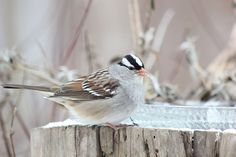 White Crowned Sparrow by Indiana Ivy Nature Photographer, via Flickr