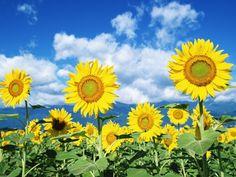 en güzel çiçek ay çiçeği gülçin ağsar