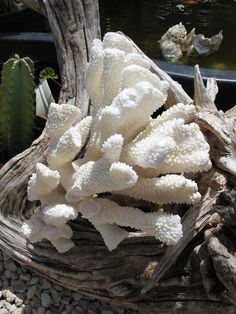 Vintage Cats Paw Coral- Large Cluster White Sea Coral for Coastal Beach Decor. $79.00, via Etsy.