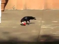 Amazing video of a crow picking up garbage and throwing it in the dumpster, If they can, Can't We? #viralvideo #birds #cleanindia #video #cleanindiacampaign