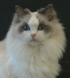 Ragdoll I want one! - Eden-Lea Tinka Belle  Blue Bi-Colour