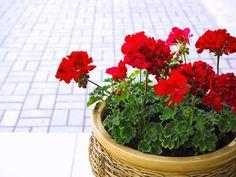 Červené muškáty vám budou sousedé závidět., Foto: istock.com Korn, Cactus, Plants, Prickly Pear Cactus, Plant, Planting, Planets