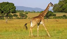 Giraffe - Facts, Sounds, Diet & Habitat Information Giraffe Pictures, Animal Pictures, Nature Animals, Animals For Kids, Giraffe Facts, Camelus, Okapi, Greatest Mysteries, Draw On Photos