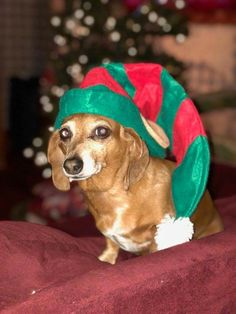 Christmas Dachshund, Weiner Dogs, Dachshunds, Baby Animals, My Favorite Things, Dachshund, Baby Pets, Weenie Dogs, Weenie Dogs