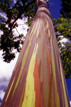 There's a grove of these awesome trees in the park across from my hotel here in Costa Rica. I'm kind of in love with them. Rainbow Eucalyptus.