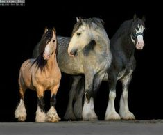 Gypsy Vanner, a Shire, and a Clydesdale ♥ ♥ ♥