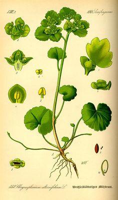 Chrysosplenium alternifolium. Flora von Deutschland Österreich und der Schweiz (1885).