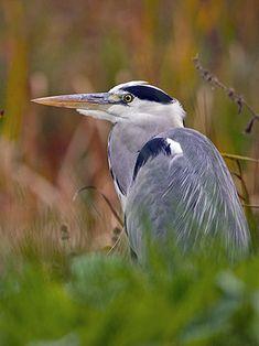 Harmaahaikara, Ardea cinerea - Linnut - LuontoPortti Ardea Cinerea, Herons, Beautiful Birds, Bird Houses, Finland, Natural Beauty, Tuesday, Nature, Animaux