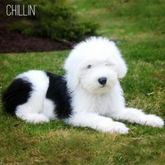 Bernadette the Old English Sheepdog at 13 weeks Sheep Dogs, Doggies, Big Dogs, Cute Dogs, Old English Sheepdog Puppy, Cute Sheep, Goldendoodles, Kittens And Puppies, Newfoundland