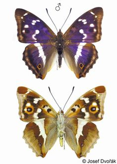 Apatura iris - the Purple Emperor.  I caught one as a child. This is one of the most beautiful Polish butterflies.