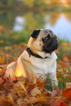What a handsome pug. Cute Pug Puppies, English Bulldog Puppies, Terrier Puppies, English Bulldogs, French Bulldogs, Boston Terrier, Pugs And Kisses, Baby Pugs, Silly Dogs