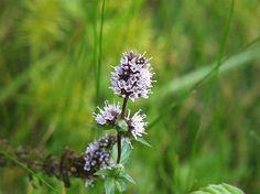 Mentha piperita flower (peppermint)