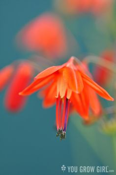 Photo by Gayla Trail  All Rights Reserved Coral Drop Bulb